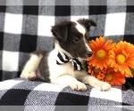 Small #13 Shetland Sheepdog