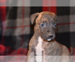 Puppy 3 American Pit Bull Terrier-Belgian Malinois Mix