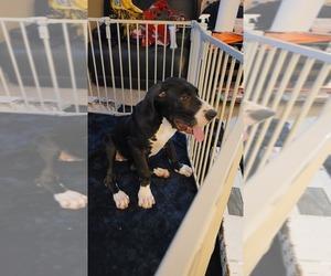 Great Dane Puppy for sale in SAN ANTONIO, TX, USA