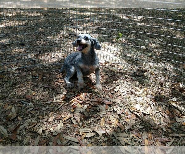 Poodle (Toy) dog