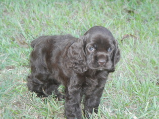 Cocker Spaniel Puppy For Sale in BEECH ISLAND, SC, USA