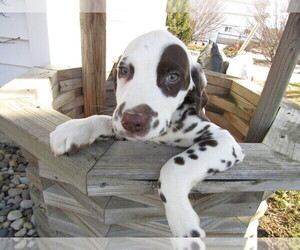Dalmatian Puppy for sale in KALAMAZOO, MI, USA