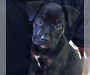 Boxador Puppy for sale in ANN ARBOR, MI, USA