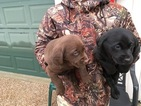 Labrador Retriever Puppy For Sale in KINGSVILLE, MO, USA