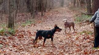 Doberman Pinscher Puppy for sale in EAST GREENBUSH, NY, USA