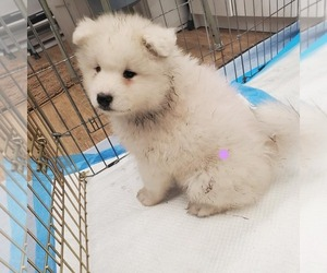 Samoyed Puppy for sale in S SAN FRAN, CA, USA