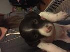 Puppy 5 Brittany