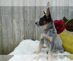Small #5 Australian Cattle Dog