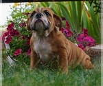 Puppy 1 English Bulldog