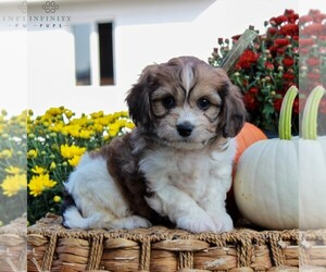 Cavachon Puppy for sale in GORDONVILLE, PA, USA