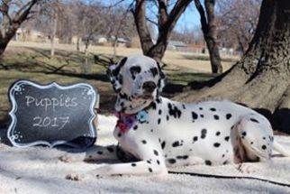 Dalmatian Puppy For Sale in WICHITA, KS