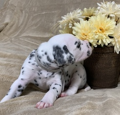 AKC Dalmatian Puppies in VA