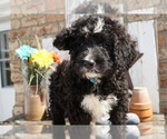 Bernedoodle Puppy For Sale in DUNDEE, OH, USA
