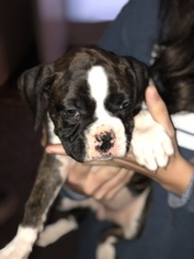 Boxer Puppy For Sale in LAMAR, MO, USA