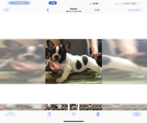 French Bulldog Puppy for Sale in NEW BERLIN, Texas USA