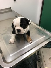 Olde English Bulldogge Puppy For Sale in SAN LORENZO, CA, USA