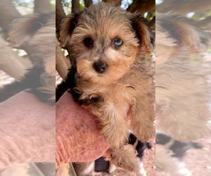 Yorkshire Terrier Puppy for Sale in GEORGETOWN, Texas USA