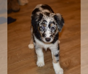 Australian Shepherd Puppy for Sale in BEND, Oregon USA