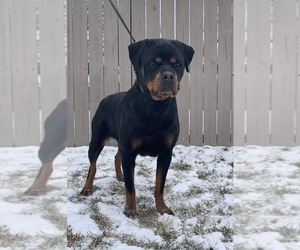 Rottweiler Puppy for Sale in ELKHART, Indiana USA