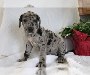 Medium Great Dane