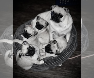 Pug Puppy for Sale in ROHNERT PARK, California USA