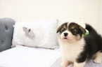 Pembroke Welsh Corgi Puppy For Sale in SAN JOSE, California,
