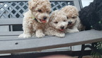 Bichon Frise-Poodle (Standard) Mix Puppy For Sale in SAVANNAH, GA, USA
