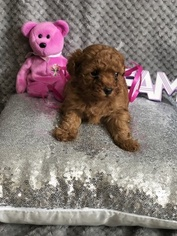 Poodle (Miniature) Puppy For Sale in BILLINGS, MT, USA