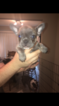 American French Bull Terrier Puppy For Sale in HOUSTON, TX, USA