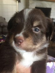Australian Shepherd Puppy For Sale in SCURRY, TX, USA