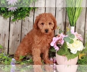 Goldendoodle Dog for Adoption in MOUNT VERNON, Ohio USA