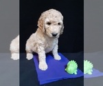 Puppy 5 Poodle (Standard)