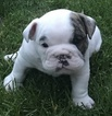 Bulldog Puppy For Sale in GOLDEN, CO,