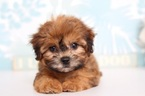 Poodle (Toy)-Shih Tzu Mix Puppy For Sale in NAPLES, FL, USA