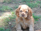 Cocker Spaniel Puppy For Sale in BEECH ISLAND, SC,