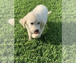 Small #3 English Cream Golden Retriever