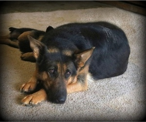 Mother of the German Shepherd Dog puppies born on 07/25/2020