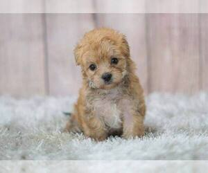 Morkie-Unknown Mix Puppy for sale in FULLERTON, CA, USA