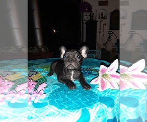 French Bulldog Puppy for sale in CARTHAGE, TX, USA