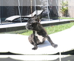 Small Photo #3 French Bulldog Puppy For Sale in HOLLYWOOD, FL, USA