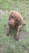 Chesapeake Bay Retriever Puppy For Sale in COLUMBIA, SC, USA