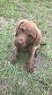 Chesapeake Bay Retriever Puppy For Sale in COLUMBIA, SC, USA