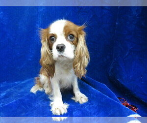 Mother of the Cavalier King Charles Spaniel puppies born on 01/01/2021