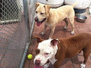 Neo - Labrador Retriever / American Bulldog / Mixed Dog For Adoption