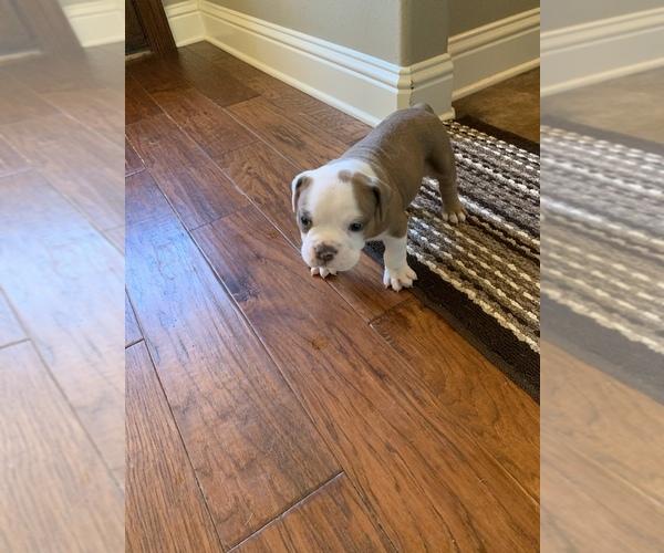 Medium Photo #3 Olde English Bulldogge Puppy For Sale in BOSSIER CITY, LA, USA