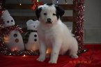 Border Collie-Norwegian Elkhound Mix Puppy For Sale in FREDERICKSBURG, OH, USA