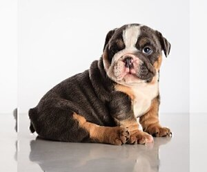 Bulldog Puppy for sale in EAST MATUNUCK, RI, USA