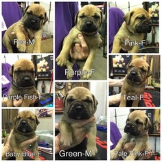 Bullmastiff Puppy For Sale in FLAT ROCK, MI
