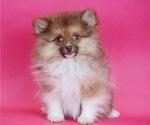 Puppy 1 Pomeranian
