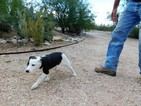 Border Collie Puppy For Sale in GREEN VALLEY, AZ